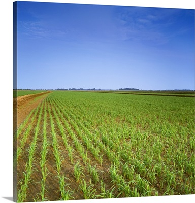 A large field of early growth rice plants prior to flooding, Arkansas