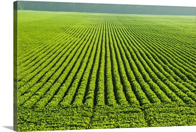 A large field of green soybeans in central Iowa in summer, Iowa
