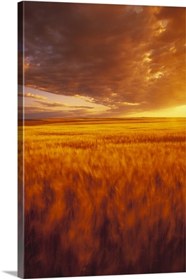 A large field of mature Durum wheat blowing in the wind, at sunset