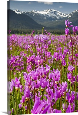 A large field of Shooting Stars bloom in Mendenhall Valley, near Juneau