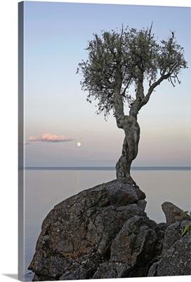 A Lone Tree On Lake Superior; Grand Portage, Minnesota, USA