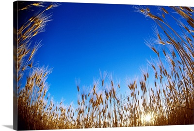 A low angle view of mature Durum wheat stalks at sunset, Manitoba, Canada