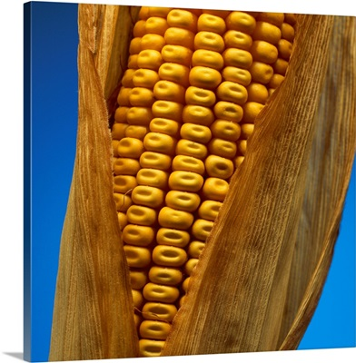 A mature ear of grain corn with the husk partially open and showing kernel dent