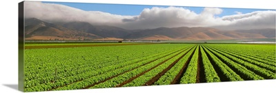 A mature Green Leaf lettuce field with the Coastal mountains and fog in the background