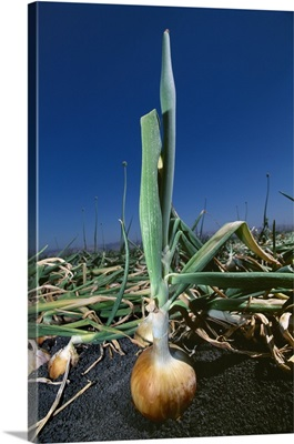 A mature yellow onion in the field, ready for harvest, Salinas Valley, California
