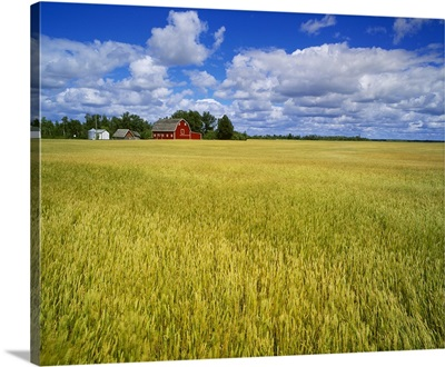 A maturing field of wheat with a red barn and blue sky with white clouds above
