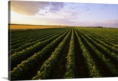 A mid growth soybean field grows next to a mature field of oats in late afternoon light