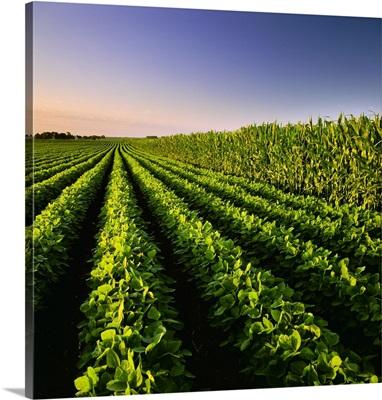 A mid growth soybean field grows next to a mid growth grain corn field, Iowa