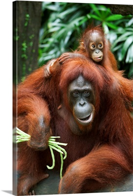 A Mother Orangutan Eats Vegetables With Her Baby; Singapore