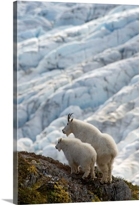 A nanny Mountain Goat with a young kid overlook a glacier on the Kenai Peninsula