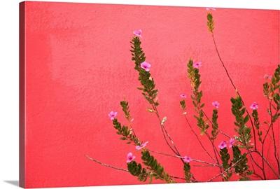 A Pink Flowering Plant; Baja California Sur, Mexico