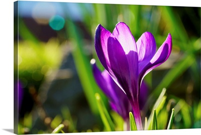 A purple crocus in bloom, South Shields, Tyne and Wear, England