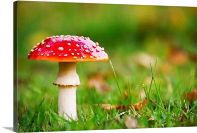 A red mushroom in the grass, Northumberland, England
