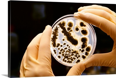 A researcher holds a mold sample in a petri dish at an agricultural research laboratory