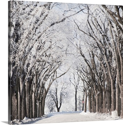 A Road And Trees Covered In Snow In Winter, Winnipeg, Manitoba, Canada