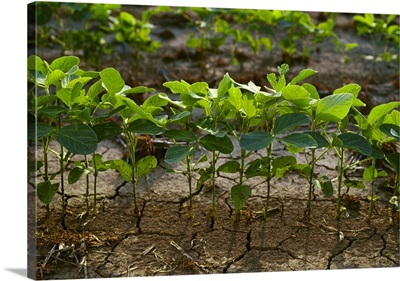 A row of early growth soybean plants, Mississippi
