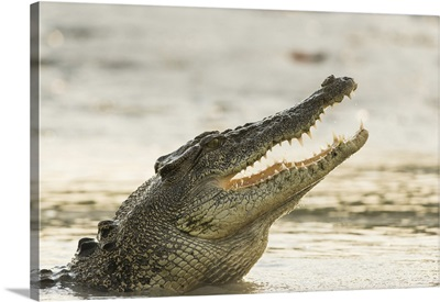 A Saltwater Crocodile Opens Its Jaws As It Erupts Out Of The Hunter River, Australia