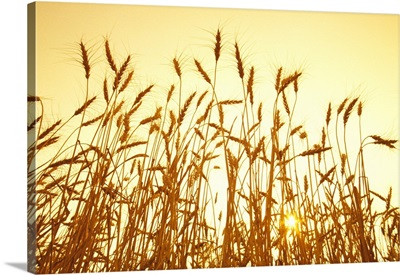A stand of mature wheat at sunset, near Dugald, Manitoba, Canada