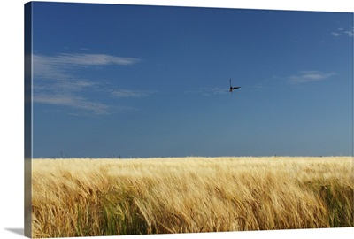 A Swallow Flying Low Over A Barley Field In East Cork, Ballycotton, Ireland