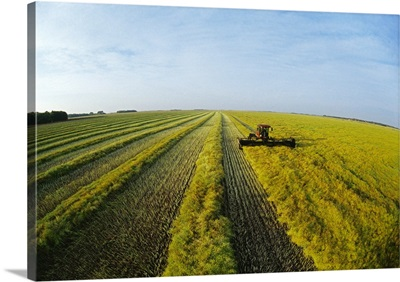 A swather swaths a mature high yield canola crop for drying prior to harvest