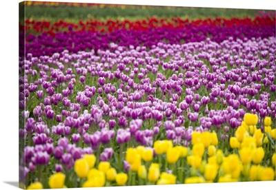 A Tulip Field