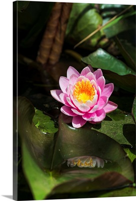 A water lily blooms in springtime, Astoria, Oregon