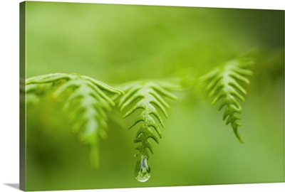 A waterdrop hangs on the edge of a fern frond, Manzanita, Oregon
