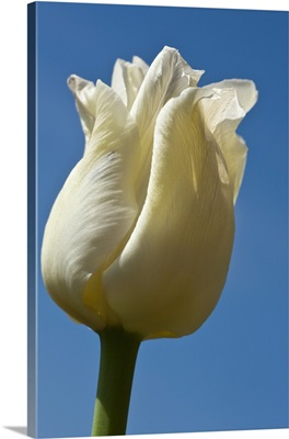 A White Tulip Against A Blue Sky; Northumberland, England