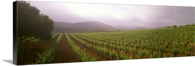 A wine grape vineyard showing foliage growth on a foggy morning in the Napa Valley