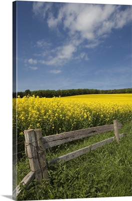 A Wooden Fence Along A Field Of Canola; Northumberland, England