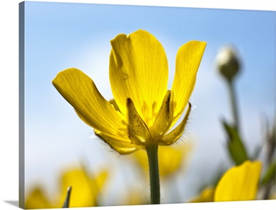 A Yellow Buttercup Against A Blue Sky; Northumberland, England