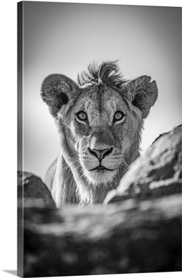 A Young Male Lion Pokes His Head Above A Rocky Ledge, Serengeti National Park, Tanzania