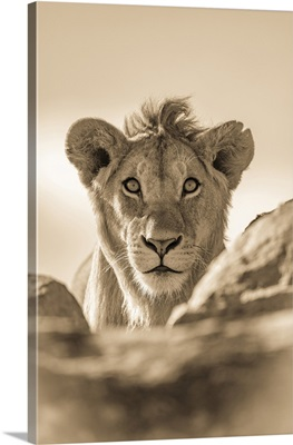 A Young Male Lion, Serengeti National Park, Tanzania