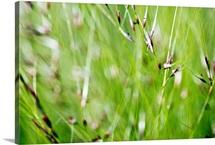 Abstract Of Green Ornamental Grass (Stipa Gigantea)