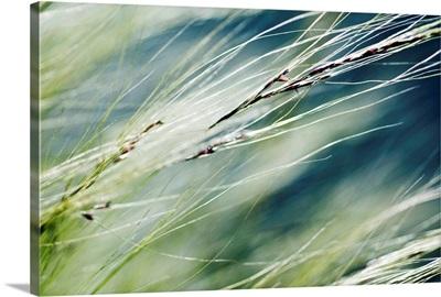 Abstract Of Ornamental Grass (Stipa Gigantea)