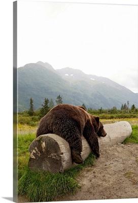 Adult Brown bear rests on a log at the Alaska Wildlife Conservation Center