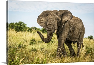 African Bush Elephant, Cottar's 1920s Safari Camp, Maasai Mara National Reserve, Kenya