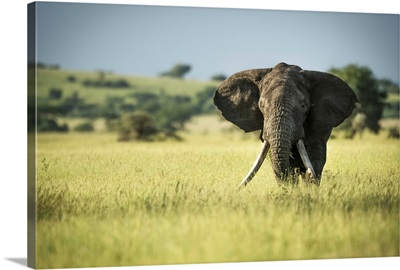African Bush Elephant, Serengeti National Park, Tanzania