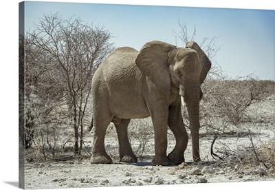 African Elephant (Loxodonta), Etosha National Park, Namibia