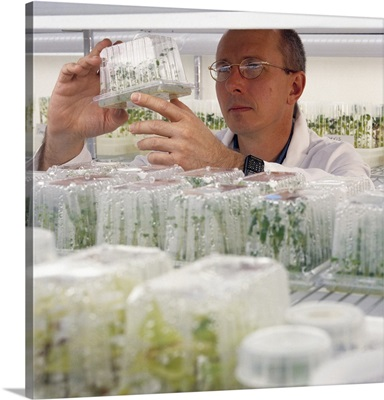 Agricultural laboratory, lab technician observing seed potato tissue cultures