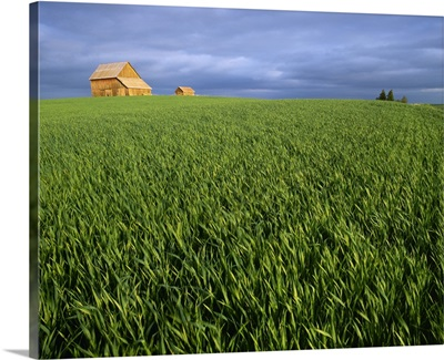 Agriculture, A field of mid growth green wheat blowing in the wind