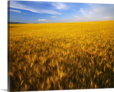 Agriculture, A large rolling field of mature, harvest ready wheat