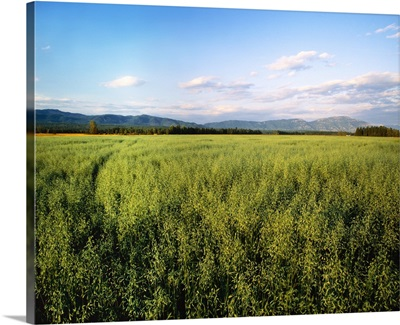 Agriculture, Field of maturing oats with mountains and forest