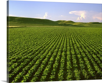Agriculture, Field of maturing sugar beet plants in the early morning