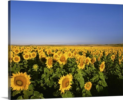 Agriculture - Field of maturing sunflowers turned toward the sun