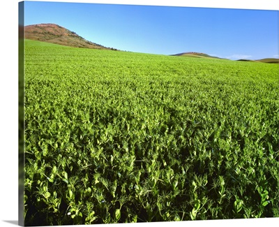Agriculture, Mid growth, bloom stage lentil plants