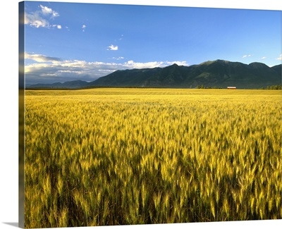 Agriculture, Ripening wheat crop in the late afternoon light wind