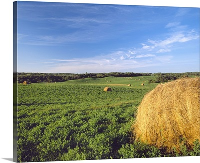 Agriculture, Rolling alfalfa field with round hay bales