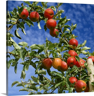 Agriculture, Royal Gala apples on tree, Apple Hill, California
