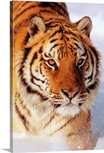 Alaska Siberian Tiger Panthera Tigris Altaica Stalking